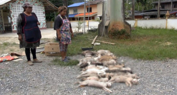Driver blamed for deaths of 33 cats at Hat Yai temple