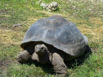 Galapagos giant tortoise gene study hints at longevity secrets