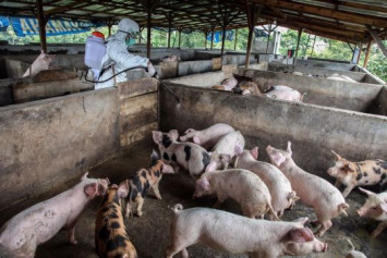 Indonesia investigates deaths of hundreds of pigs in Bali