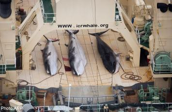 Activists to battle on after Japan whaling court victory
