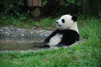 Sichuan panda has eye disease