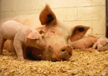 China reports African swine fever outbreak in Gansu province