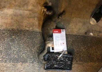 Cats injured by glue traps meant for rats in Redhill
