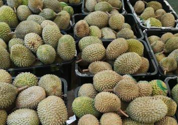 Durian season is coming back this National Day weekend and Mao Shan Wang prices are expected to drop