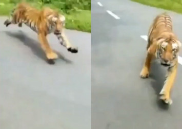 Motorcyclists in India escape death after tiger chase