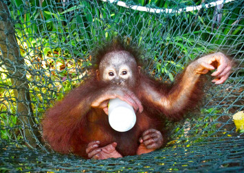 Baby Sumatran orangutans traumatised after smuggling attempt