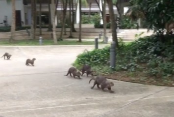 Yale-NUS student posts on Instagram about being blessed by appearance of otter family on campus