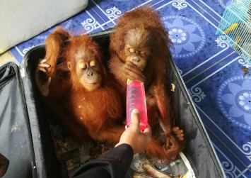 Man tries to smuggle baby orangutans in suitcase from Thailand