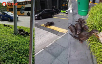Otters stop traffic in CBD, Acres monitoring situation