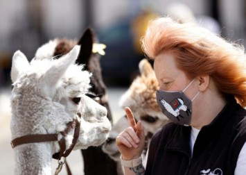 Tyson the alpaca takes heavyweight role in search for coronavirus vaccine