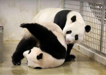 Pandas at it again: Kai Kai and Jia Jia enter mating season