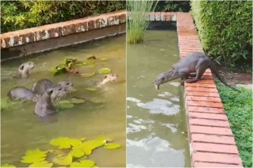 Otters have splashing good time with a feast in fish ponds at Botanic Gardens