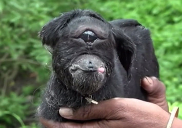 'Cyclops' goat born with one eye stuns vets and scientists with survival