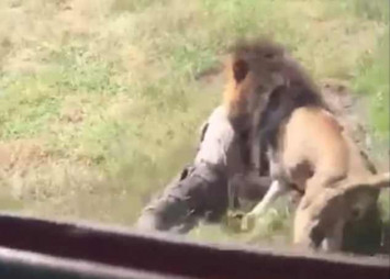 Video shows terrifying moment elderly man is mauled by lion in wildlife park