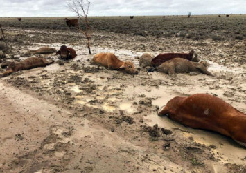 'Hundreds of thousands' of cattle feared dead after Australia floods