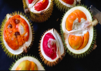 This durian collector has 80 different kinds of durians on his farms