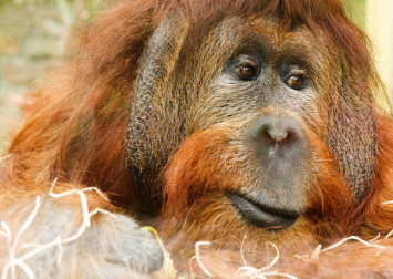 Baby orangutan dies of hunger after mother shot and badly injured