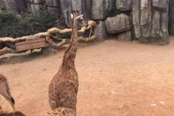 Chinese zoo asks tourists not to feed cash to its animals after visitor throws $2,030 to giraffes