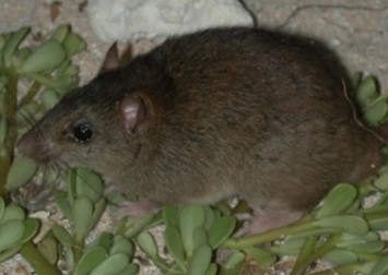 Aussie rodent becomes 1st 'climate change extinction'