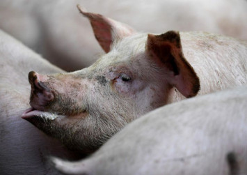 Vietnam swine fever cull surges, 1.7 million pigs dead