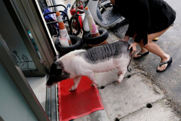 Pet peeve: Animal lovers fear pet pigs will be abandoned after Chinese New Year