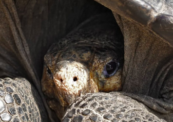 She lives! Giant tortoise thought extinct for a century is found alive