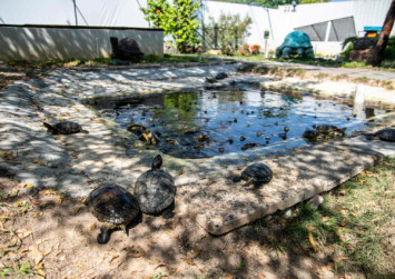 Singapore's endangered turtles fight to survive after government closes sanctuary