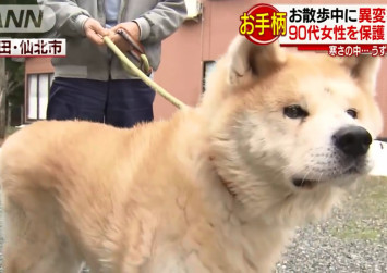 Akita dog honoured by Japanese police after coming to rescue of elderly woman