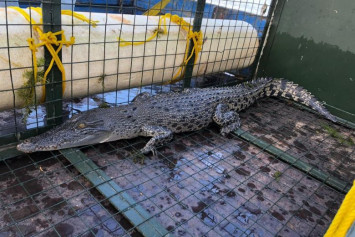 1.7m crocodile at Lower Seletar Reservoir caught by PUB, NParks