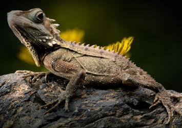 Lizard goes on diet to meet mating partner