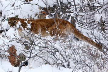 US jogger fends off, kills mountain lion on rural trail