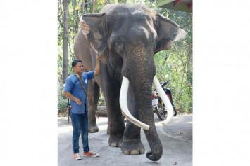 Celebrity elephant kills handler at Chiang Mai Zoo