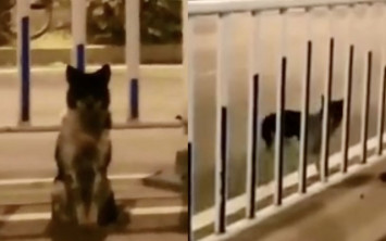 Faithful dog waits for nearly 3 months at same spot where owner was killed