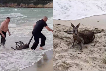 Aussie cops to the roo-scue as kangaroo nearly drowns in the sea