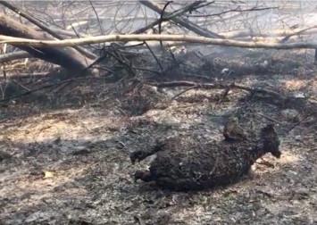 Hundreds of rare koalas feared dead in Australia bushfire