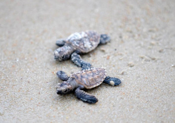 Over 300 endangered turtles hatch in Singapore
