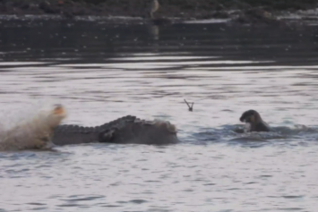 Scuffle between crocodile and otters captured on video in Sungei Buloh not a rare sight: Nature observers