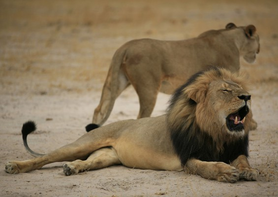 Conflicting reports over killing of Cecil the lion's 'brother'