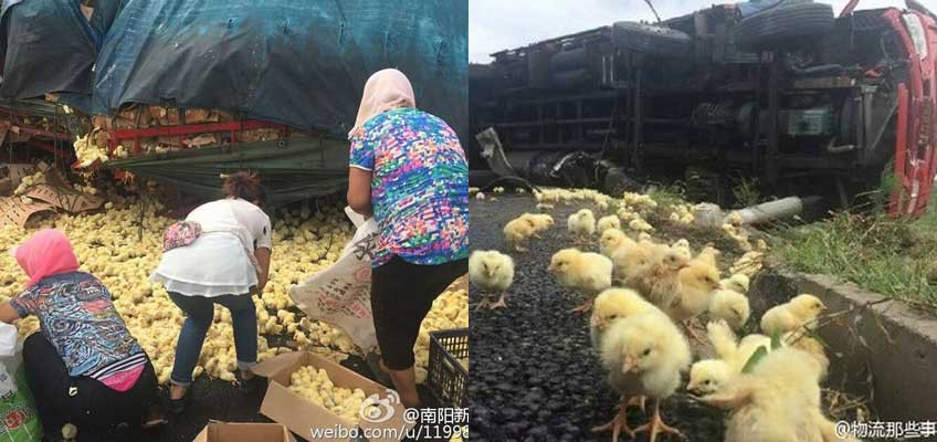Villagers loot thousands of chicks that spilled onto road in China