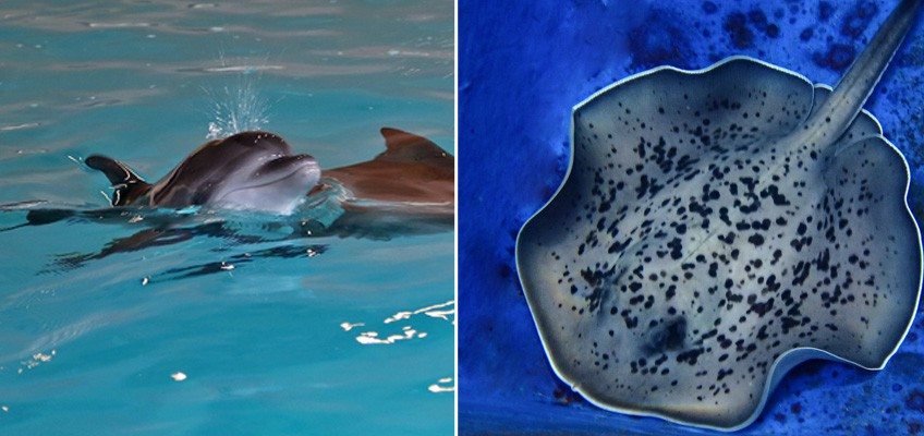 Endangered shark ray pup, dolphin and stingrays born in Singapore ahead of Mother's Day