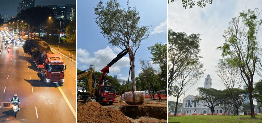 NParks transplant giant Angsana trees from Bidadari to Esplanade Park